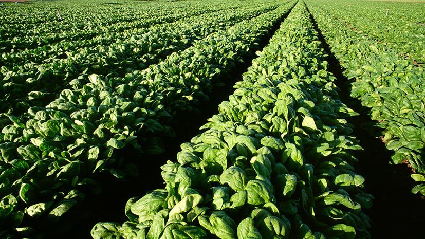 Генетический редактор: учёным удалось вырастить устойчивый к засухе и заболеваниям урожай