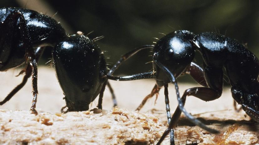 Природная аптека: как муравьи помогли российским учёным найти редкий антибиотик