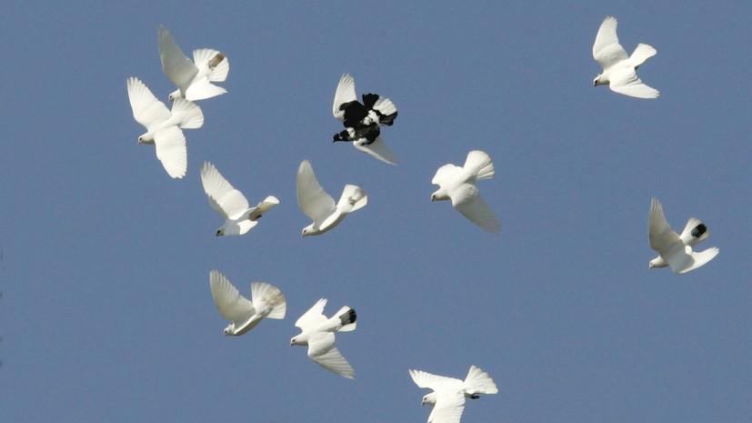 В Бельгии продали голубя за рекордные €1,252 млн