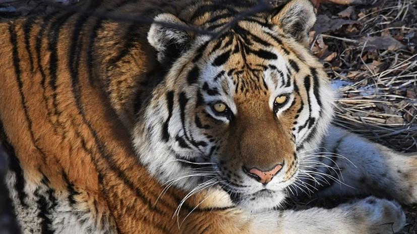 Житель хабаровского села застрелил задравшего корову амурского тигра