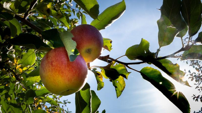 Россельхознадзор запретил ввоз турецких яблок через Белоруссию
