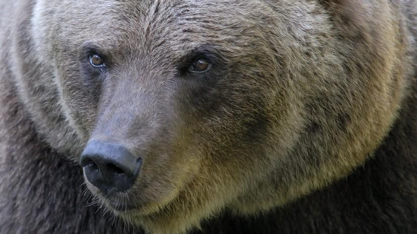 В Ингушетии полицейские застрелили напавшего на людей медведя