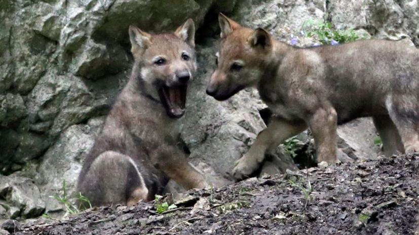 В зоопарке Самары шестерых волчат назвали в честь российских космодромов