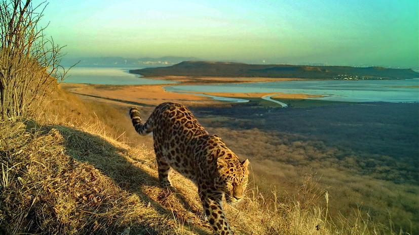 Тигр и леопард впервые попали в фотоловушку на территории Владивостока