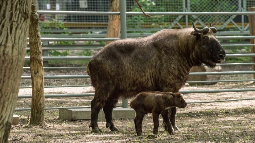 В зоопарке Ростова-на-Дону родился краснокнижный такин-мишми