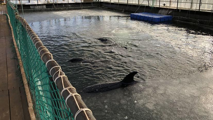 Росрыболовство прокомментировало решение суда по косаткам из «китовой тюрьмы»