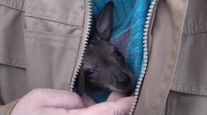 Сотрудник Ленинградского зоопарка «удочерила» детёныша кенгуру