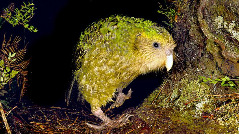 Спасти совиного попугая: почему один из самых древних видов птиц находится на грани вымирания