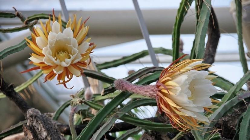 В Ботаническом саду Петербурга заявили о рекордном цветении «Царицы ночи»