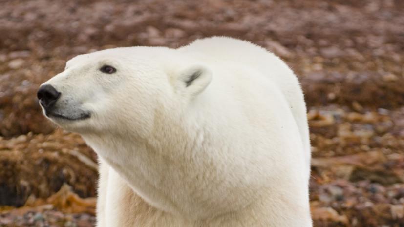 В мэрии прокомментировали ситуацию с белым медведем в Норильске