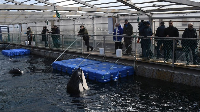 Косаток из «китовой тюрьмы» начали грузить в фуры для выпуска на волю