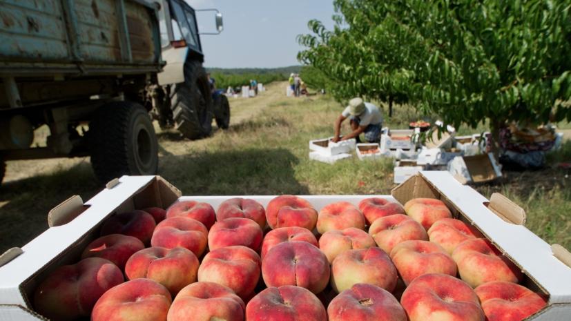 В Крыму начался сбор персиков ранних сортов
