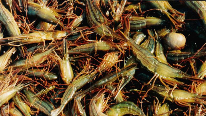 Увеличен рекомендованный объём добычи креветок в Чёрном море