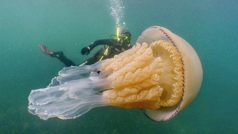 В Британии обнаружили гигантскую медузу