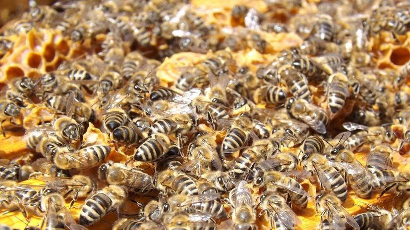 В Томской области зафиксировали массовую гибель пчёл