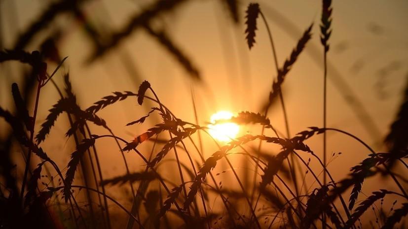 В Крыму отчитались о сборе урожая ранних зерновых и зернобобовых культур