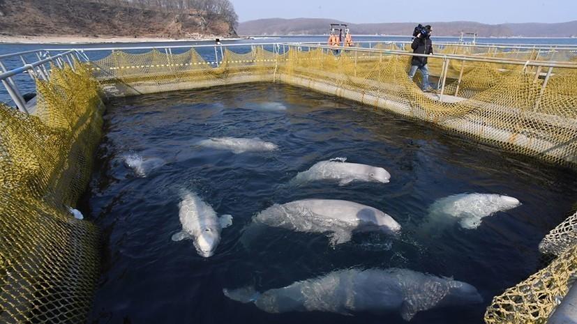 Из «китовой тюрьмы» вывезли последнюю партию косаток и белух