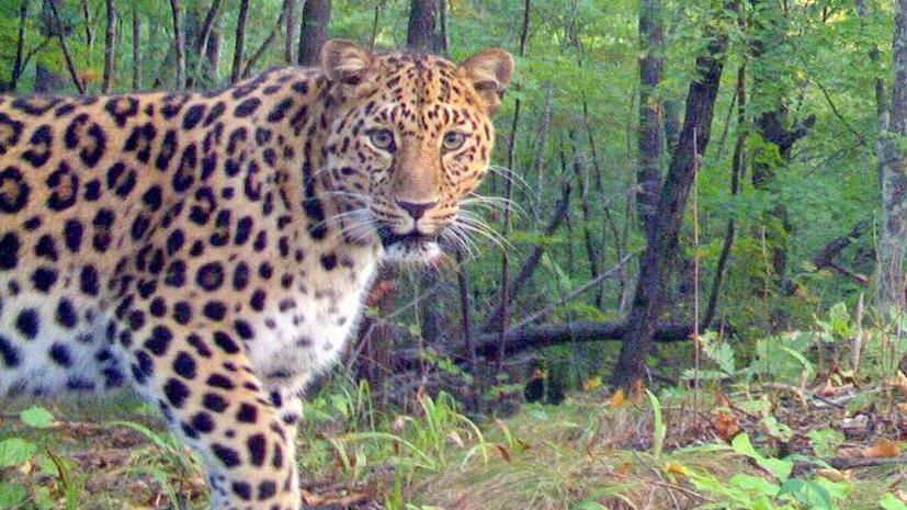 В нацпарке «Земля леопарда» появились на свет два котёнка дальневосточного леопарда