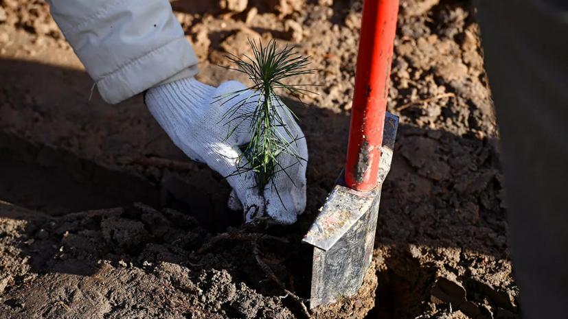 В Минприроды рассказали о высадке деревьев в пострадавших от пожаров регионах
