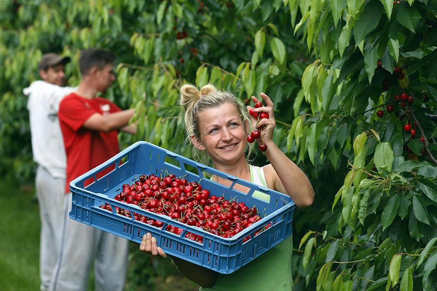 «Вишенка» на санкциях: в США заявили о снижении ЕС экспорта фруктов из-за российского эмбарго
