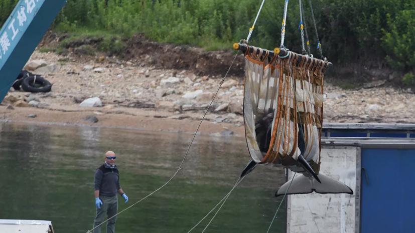 Учёные выпустили 14 белух из «китовой тюрьмы» в Охотское море