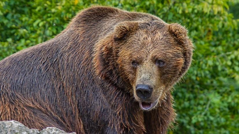 Пострадавший при нападении медведя на Курилах доставлен на Сахалин