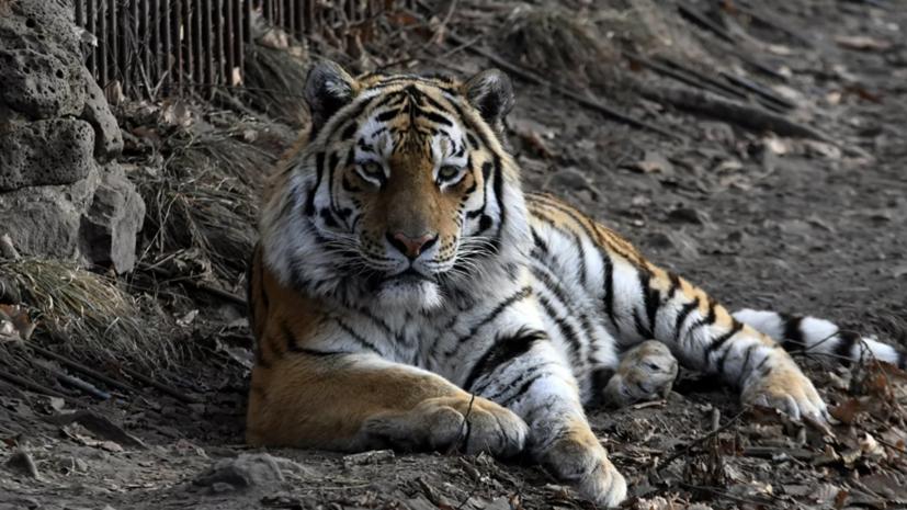 МВД начало проверку из-за жестокого обращения с тигром в зоопарке в Приамурье