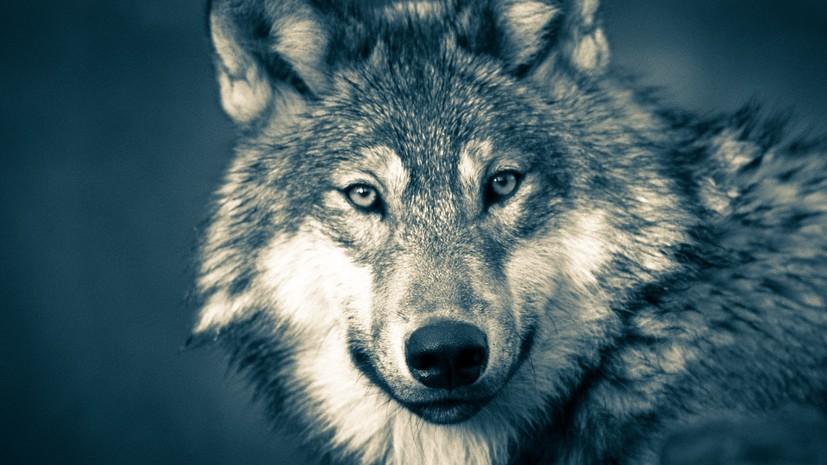 Серый волк из Монголии прошёл рекордные 7247 км за один год — РТ на русском