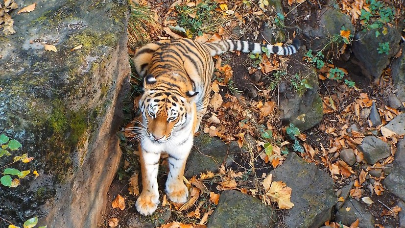 В Приморском сафари-парке рассказали о состоянии тигра Амура после смерти козла Тимура