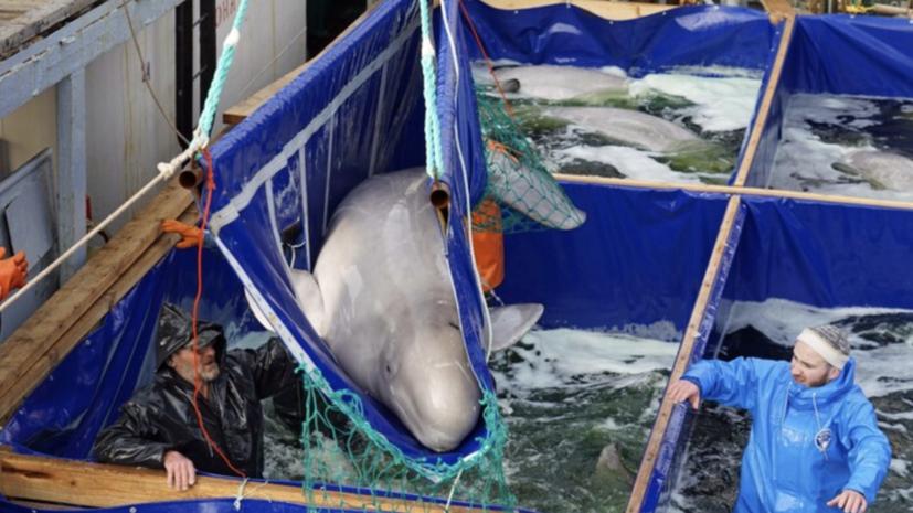 Последние белухи из «китовой тюрьмы» в Приморье выпущены на свободу