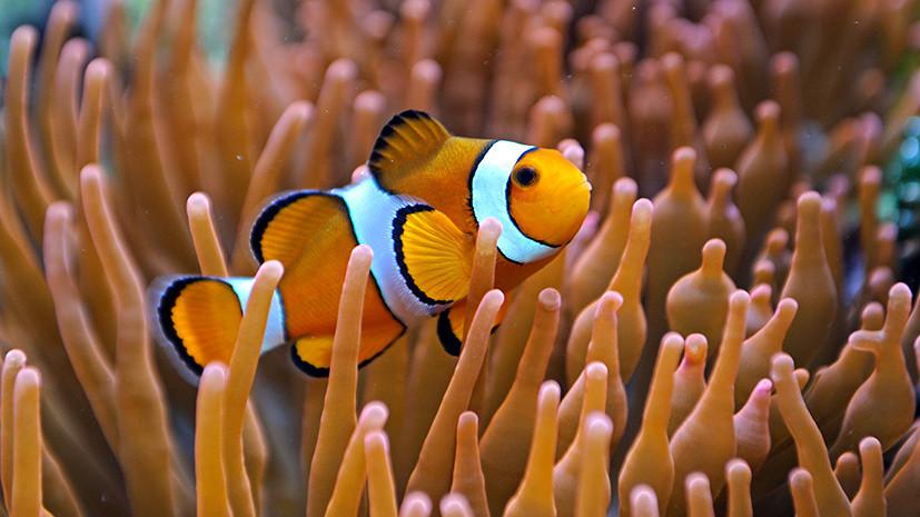 Потерянный Немо: рыбы-клоуны могут исчезнуть из-за неспособности адаптироваться к изменению климата
