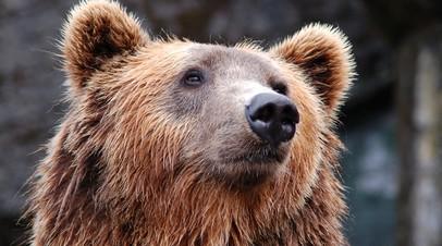 Опрос: 65% россиян одобряют медведя в качестве символа страны
