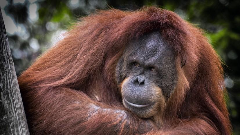 В Московском зоопарке рассказали о рождении суматранского орангутана