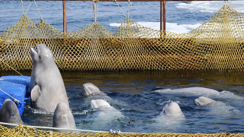 В Росрыболовстве рассказали о белухах, освобождённых из «китовой тюрьмы»