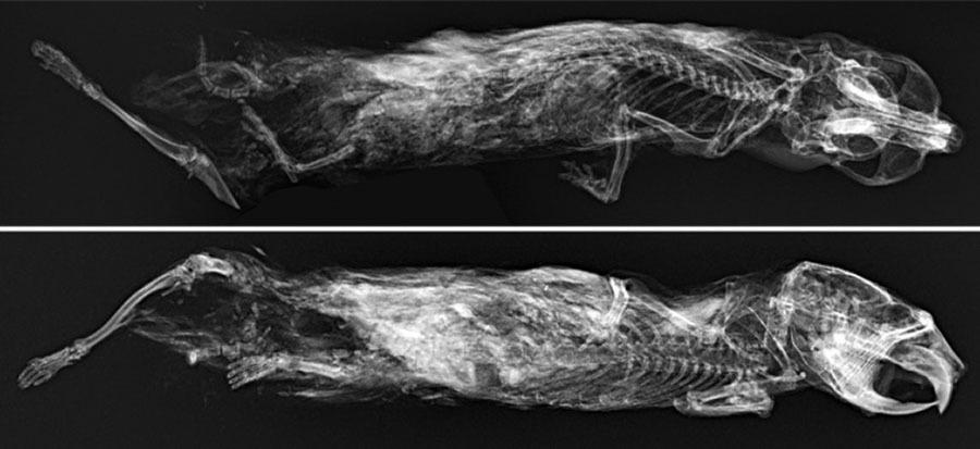 Мумия грызуна: российские учёные исследовали томографом ископаемого древнего лемминга