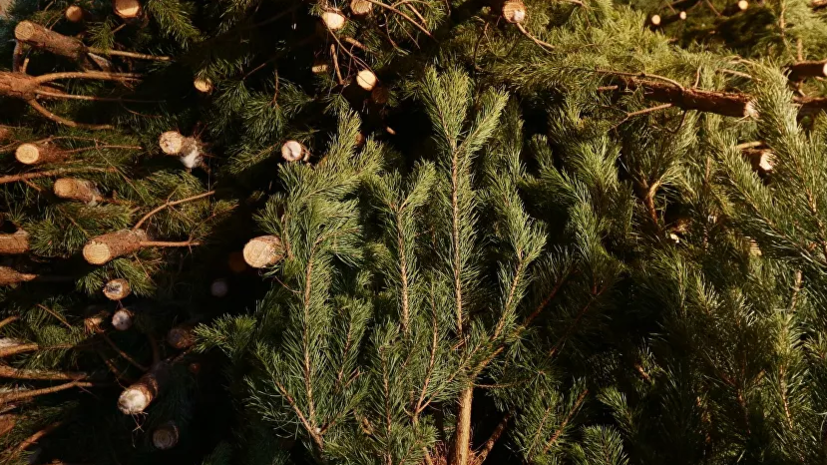 В Севастополе пройдётсбор новогодних ёлок