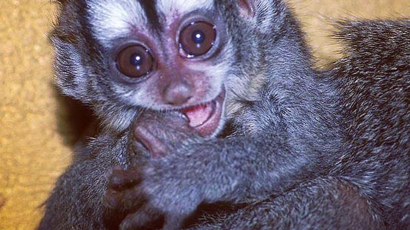 В Московском зоопарке родился боливийский мирикини