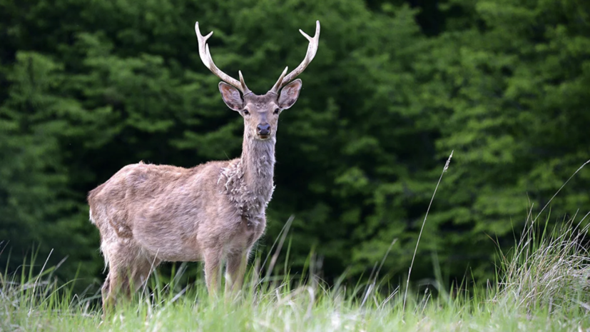 На Ямале завели дело по факту незаконной охоты на диких оленей