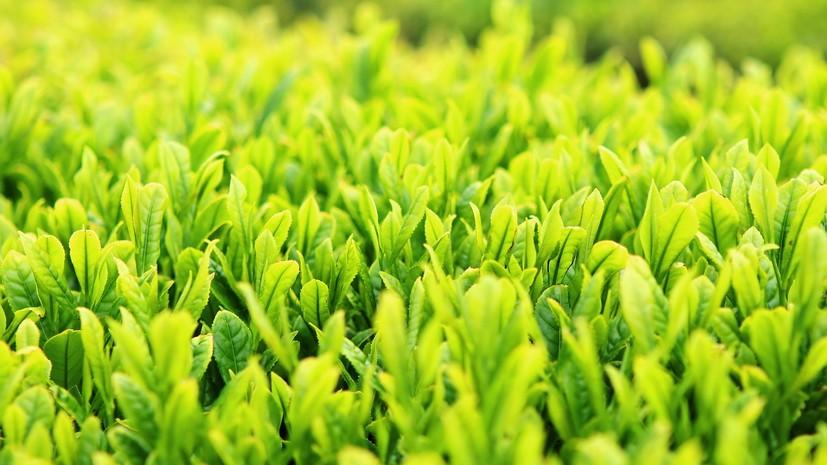 Эксперт оценил перспективы восстановления заброшенных плантаций чая в Краснодарском крае