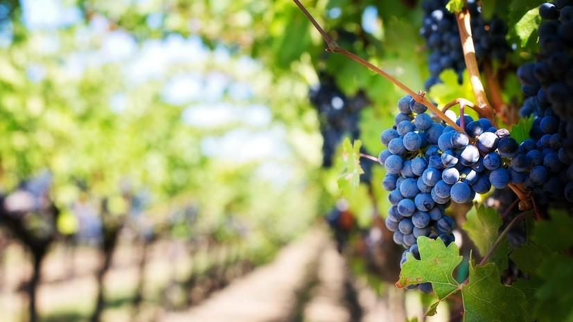 В Севастополе высадили более 500 га нового винограда в 2019 году