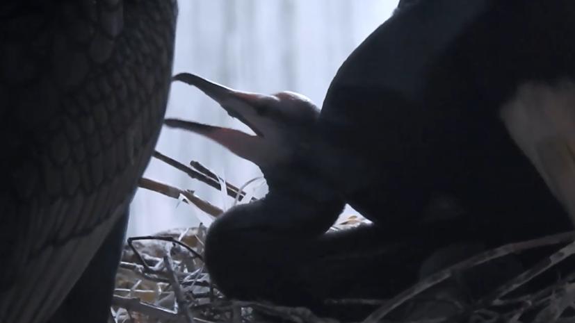 В Московском зоопарке родились птенцы больших бакланов