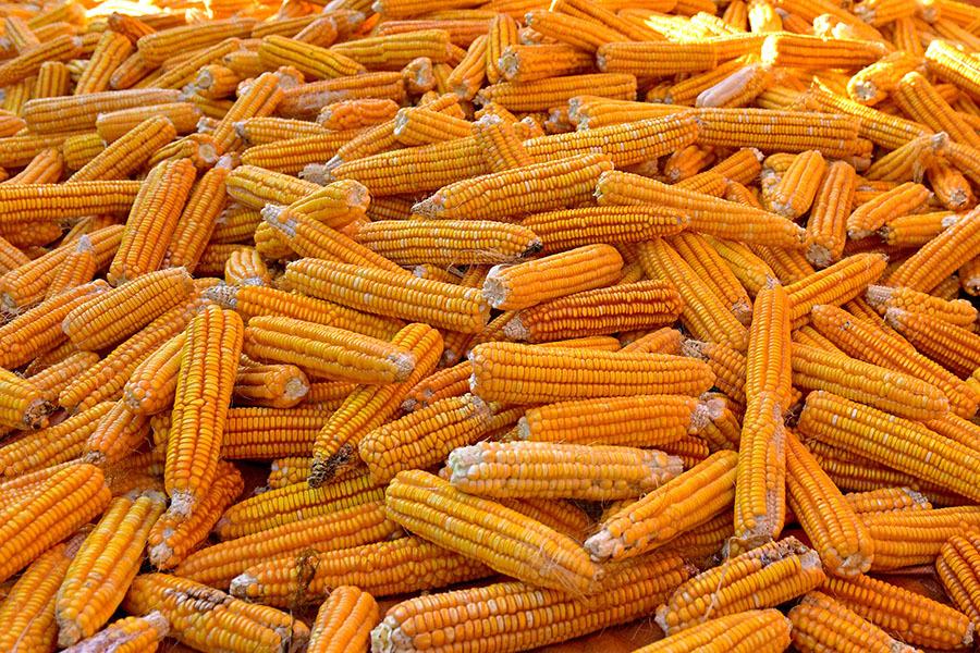 Что посеешь: Минсельхоз США прогнозирует рекордный урожай подсолнечника в России