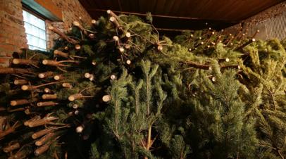 В Петербурге оценили ущерб от незаконной вырубки елей в праздники
