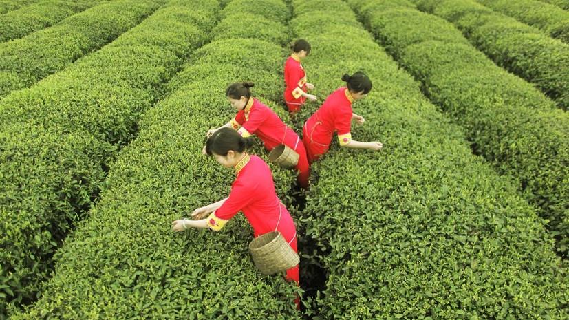Дешёвые листья: почему мировые цены на чай опустились до минимума с 2016 года