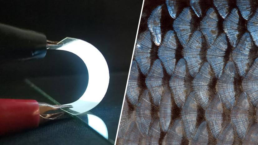 Вторая кожа: как учёные создали из рыбьей чешуи компоненты для гаджетов