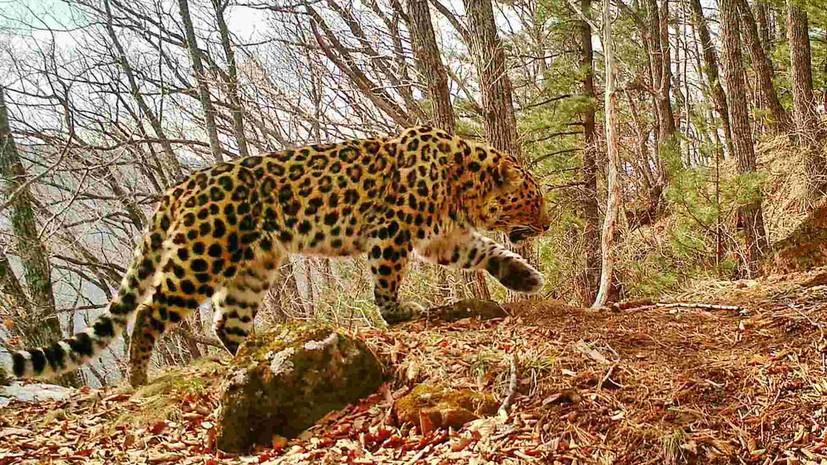 Число дальневосточных леопардов в нацпарке «Земля леопарда» выросло до 97