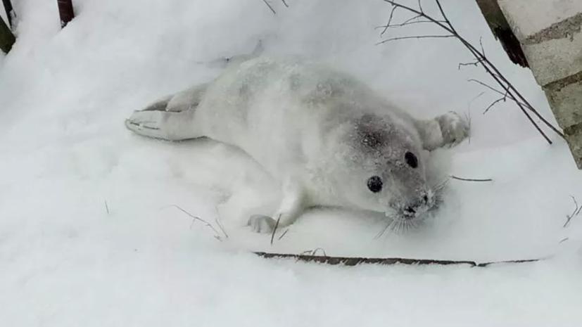 В Ленобласти спасли двух детёнышей тюленя