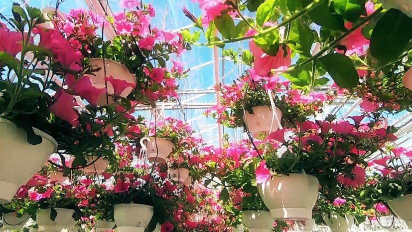 В Санкт-Петербурге вырастили миллион цветов для украшения города к летнему сезону