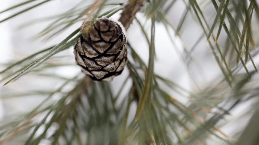 Российские учёные разработали программу для изучения хвойных деревьев