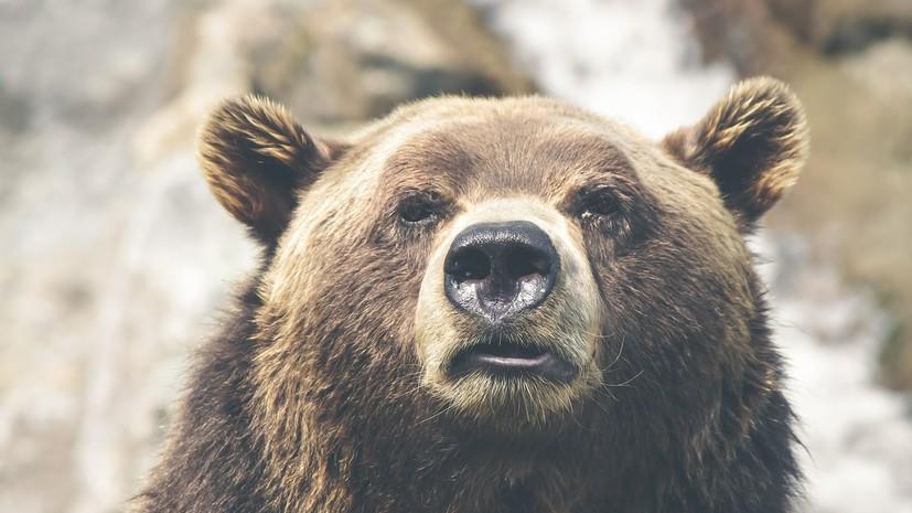 Два медведя подрались на границе России и Китая